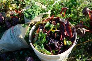 Biodynamic Agriculture - Salad Harvest
