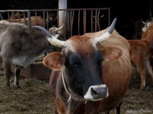 Biodynamic Cow